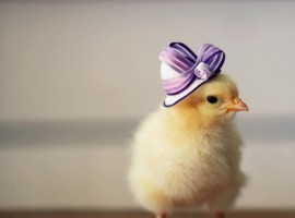 Bird Chicken Hat hd Wallpaper