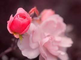 Roses Pink Bokeh hd Wallpaper
